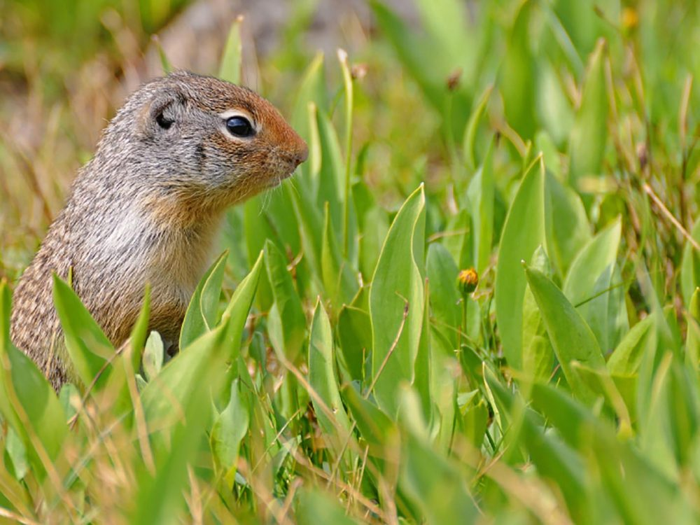 Ground Squirrel in the blooming meadow