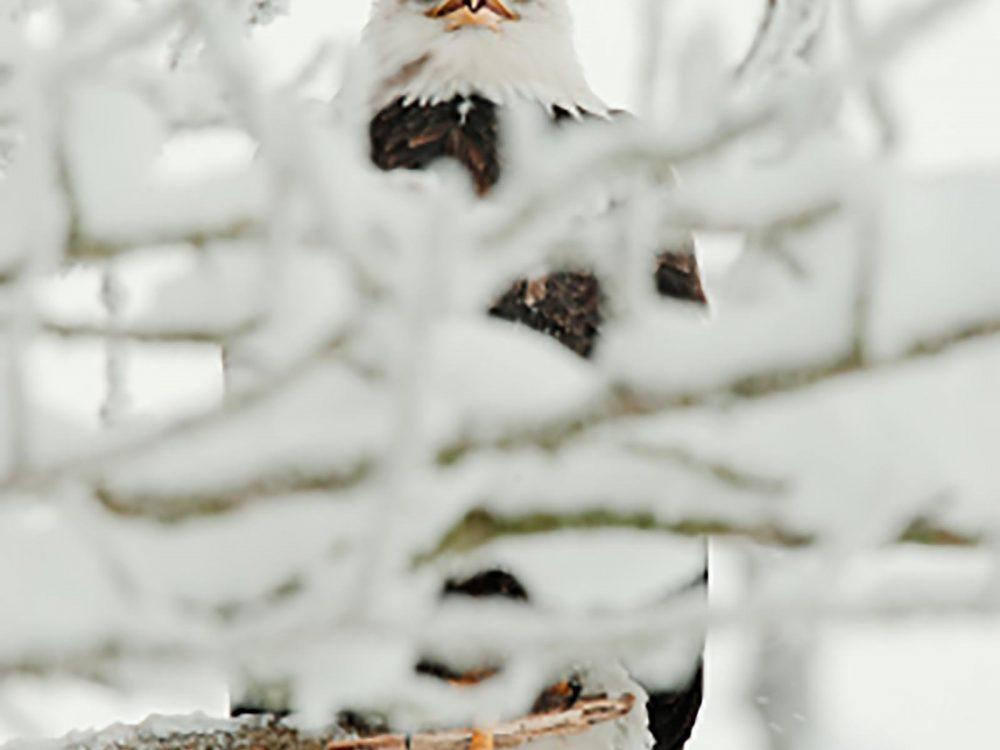 Portrait of Bald Eagle  sitting on a branch. Haliaeetus leucocephalus washingtoniensis.
